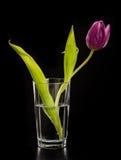 Purpurowy tulipan w szkle Obraz Stock