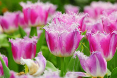 Purpurowy tulipanowy kwiat Obraz Royalty Free