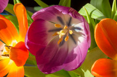 Purpurowy tulipanowy zakończenie Fotografia Stock