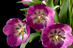 Purpurowy tulipanowy zakończenie Obraz Stock