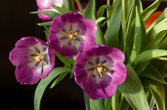 Purpurowy tulipanowy zakończenie Obrazy Stock