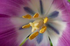 Purpurowy tulipanowy zakończenie Fotografia Royalty Free