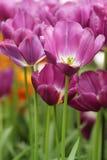 Purpurowy tulipanowy zbliżenie Zdjęcie Stock