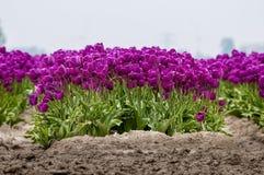 Purpurowy tulipanu przód fotografia stock