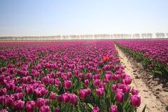 purpurowy tulipanu typ &-x27; Purpury flag&-x22; w świetle słonecznym w rzędach w długim f Obrazy Royalty Free