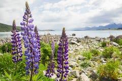 Purpurowy łubinowy kwiat w jesieni w Tekapo, Nowa Zelandia Fotografia Stock