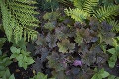 Purpurowy ulistnienie Heuchera roślina fotografia royalty free