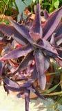 Purpurowy ulistnienie, liście w garnku Fotografia Royalty Free