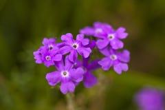 purpurowy verbena Zdjęcia Stock