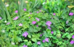 Purpurowy verbena krzak w flowerbed. Obraz Stock