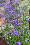 Purpurowy verbena pole Zdjęcie Royalty Free
