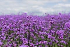 Purpurowy verbena pole Zdjęcie Stock