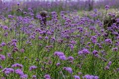 Purpurowy verbena pole Obrazy Royalty Free