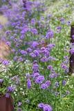 Purpurowy verbena pole Obrazy Stock