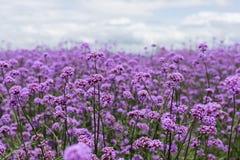 Purpurowy verbena pole w miękkim fogus Obraz Royalty Free