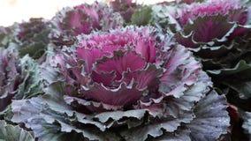 Purpurowy warzywo Zdjęcia Royalty Free