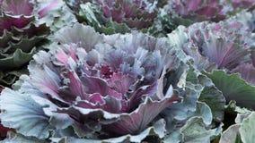 Purpurowy warzywo obrazy royalty free