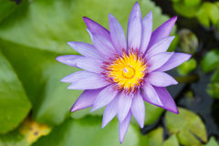 purpurowy waterlily Obrazy Royalty Free