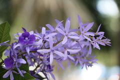 Purpurowy wianek, Sanpaper winograd, królowa wianku kwiat (Naukowy Zdjęcie Stock