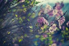 Purpurowy wiosna bez kwitnie kwitnącego zakończenie Zdjęcie Royalty Free