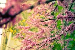 Purpurowy wiosny okwitnięcie Cercis Canadensis lub Wschodni Redbud Zdjęcia Stock