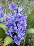Purpurowy wiruje kwiat obrazy stock