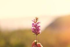 Purpurowy wrzos Zdjęcie Royalty Free