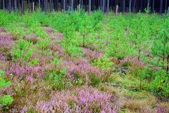 Purpurowy wrzos Fotografia Stock