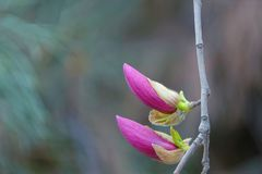 Purpurowy Yulan kwiat Fotografia Royalty Free