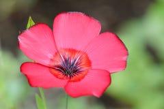 Purpurowych Anthers kwiatu Czerwoni płatki Fotografia Stock