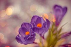 Purpurowych krokusów stonowany zakończenie Zdjęcie Royalty Free