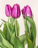 Purpurowych tulipanów Retro styl Fotografia Stock