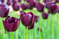 Purpurowych tulipanów zamknięty up Zdjęcie Royalty Free