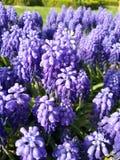 purpurrot Stockfoto