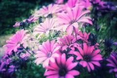 purpurrot Stockfotografie