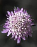 purpurrot Stockbild