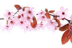 Purpurrot-Blattpflaume (Prunus cerasifera) Stockbilder