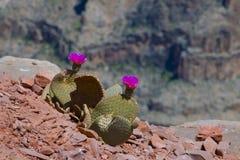 Purpurrot-geblühter Kaktus Stockfoto