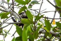 Purpurrot-gesichtiger Langur - Affe Stockfotografie