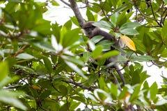 Purpurrot-gesichtiger Langur - Affe Lizenzfreies Stockfoto