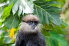 Purpurrot-gesichtiger Langur - Affe Stockfoto