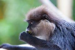 Purpurrot-gesichtiger Langur - Affe Stockbild
