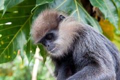 Purpurrot-gesichtiger Langur - Affe Lizenzfreie Stockfotografie