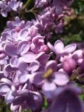 purpurrot lizenzfreies stockbild