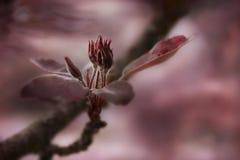 Purpurrot-rosa Blüte Lizenzfreie Stockfotografie