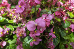 Purpurrot, rosa, rot, blüht Kosmos im Garten Lizenzfreie Stockfotos
