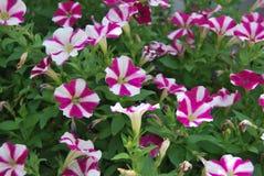 Purpurrot-weiße Blume Stockfotos