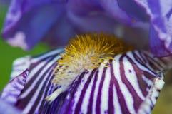 Purpurrot-weiße gestreifte Blende Stockfoto