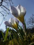 Purpurrot-weißer Krokus stockbilder