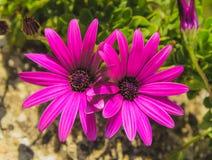 Purpurrote afrikanische Gänseblümchen lizenzfreie stockbilder